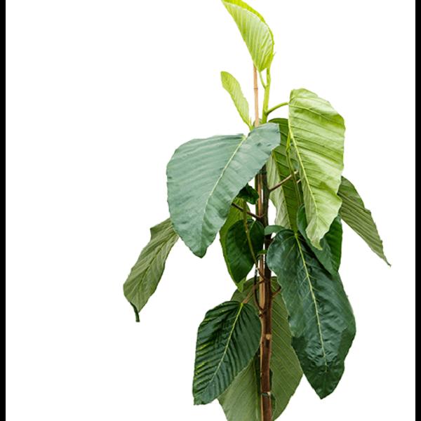 Ficus bussei 'Floris'