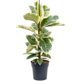 Fleur.nl - Ficus Elastica Tineke