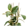 Ficus Elastica Tineke Toef