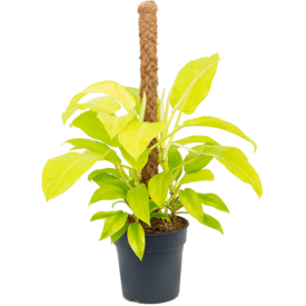 Fleur.nl - Philodendron Malay Gold Mosstok