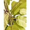Philodendron Malay Gold Mosstok