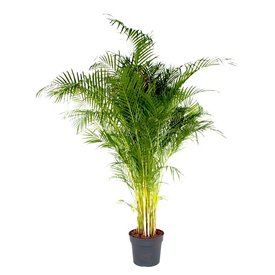 Fleur.nl - Palm Areca Lutescens 3XL