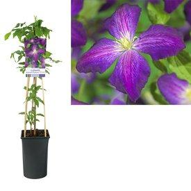 Fleur.nl - Clematis 'Jackmanii Purpurea'