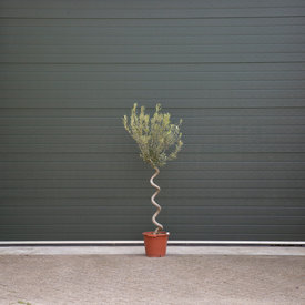 Fleur.nl - Olijfboom spiraalvorm