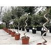 Olijfboom spiraalvorm - Olea Europea