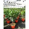 Sinaasappelboom - Citrus Sinensis