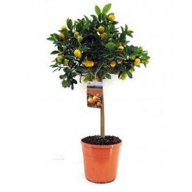 Fleur.nl - Sinaasappelboom