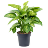 Dieffenbachia seguine 'Reeva' - 80 cm