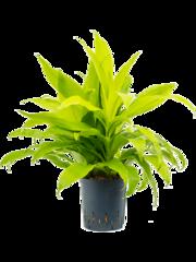 Populaire hydroplanten