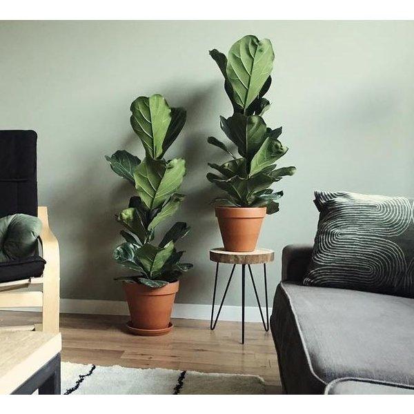 Ficus Lyrata struik small
