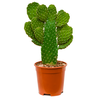 Opuntia consolea branched - schijfcactus