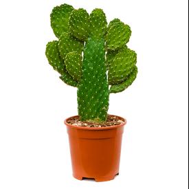 Fleur.nl - Opuntia consolea branched - schijfcactus