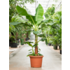 Bananenplant musa XXL - hoogte 2 meter