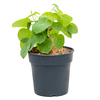 Stephania venosa - exclusieve plant