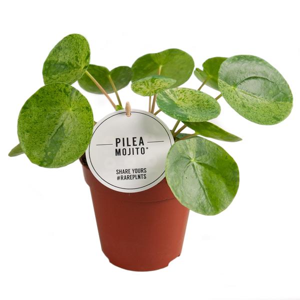 Pilea Mojito Pannenkoekplant