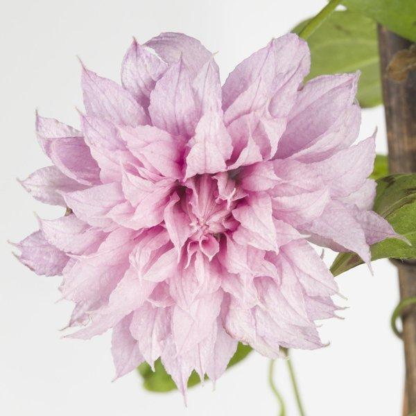 Clematis 'Multi Pink'