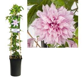 Fleur.nl - Clematis 'Multi Pink'