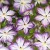 Clematis 'Pernille'