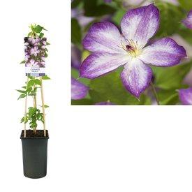 Fleur.nl - Clematis 'Pernille'
