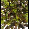 Croton Exellent - kunstplant