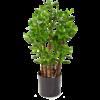 Crassula Ovata - kunstplant