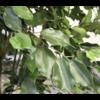 Ficus Liana XL - kunstplant