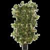Cissus Fence heg - kunstplant