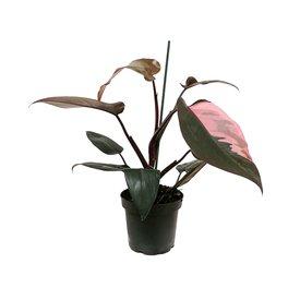 Fleur.nl - Philodendron Pink Princess