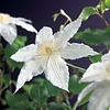 Clematis 'Gladys Picard'