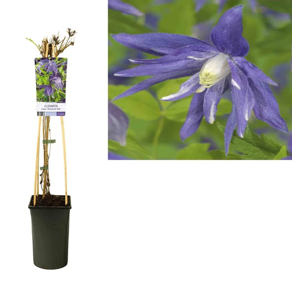 Clematis macr. 'Maidwell Hall'