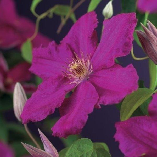 Clematis macr. 'Markham's Pink'