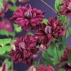 Clematis vit. 'Purpurea Plena Elegans'