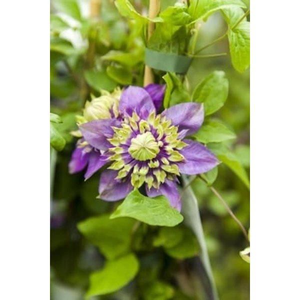 Clematis florida 'Taiga'