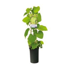 Fleur.nl - Aristolochia Durior Duitse Pijp