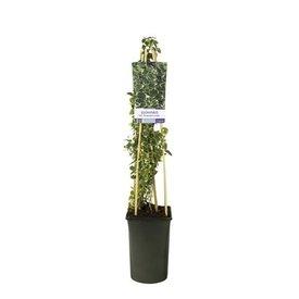 Fleur.nl - Euonymus Fortunei 'Emerald Gaiety'