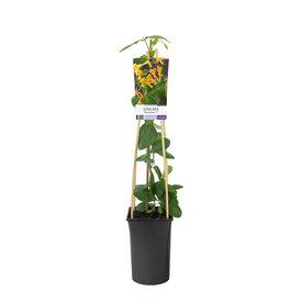 Fleur.nl - Lonicera 'Mandarin'