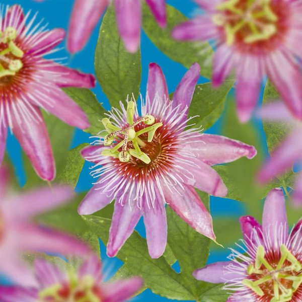 Passiflora 'Anastasia'