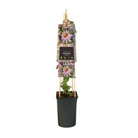 Fleur.nl - Passiflora 'Anastasia'