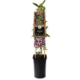 Fleur.nl - Passiflora 'Beervelde'