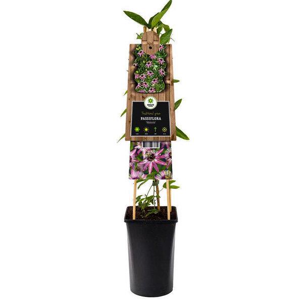Passiflora 'Beervelde'