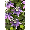 Passiflora 'Betty Miles Young'