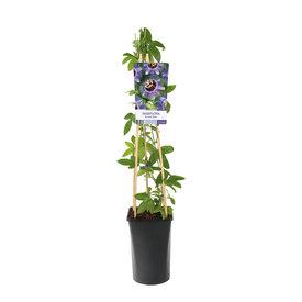 Fleur.nl - Passiflora 'Purple Rain'
