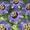 Passiflora 'Purple Rain'