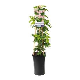 Fleur.nl - Trachelospermum 'Pink Air' Roze Toscaanse Jasmijn