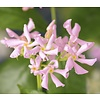 Trachelospermum 'Pink Air' Roze Toscaanse Jasmijn