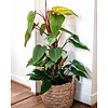 Philodendron Red Emerald mosstok