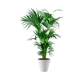 Fleur.nl - Palm Kentia in pot Elho