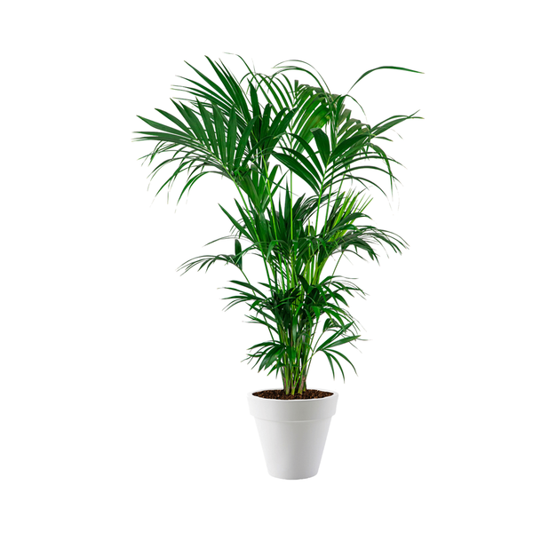 Palm Kentia in pot Elho
