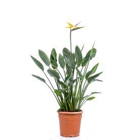 Fleur.nl - Strelitzia Reginae met bloemknop