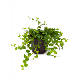 Fleur.nl - Ficus Repens Sunny - hydrocultuur